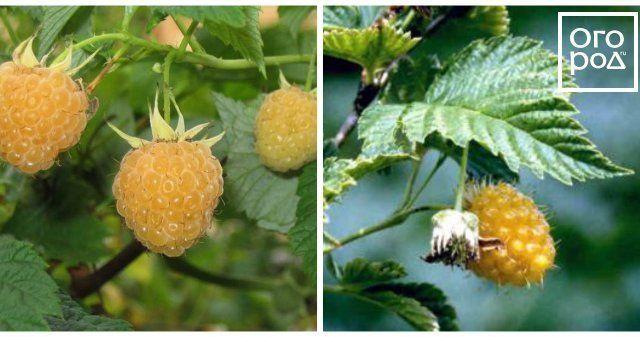 О желтой малине: описание сорта желтоплодной малины, особенности по уходу