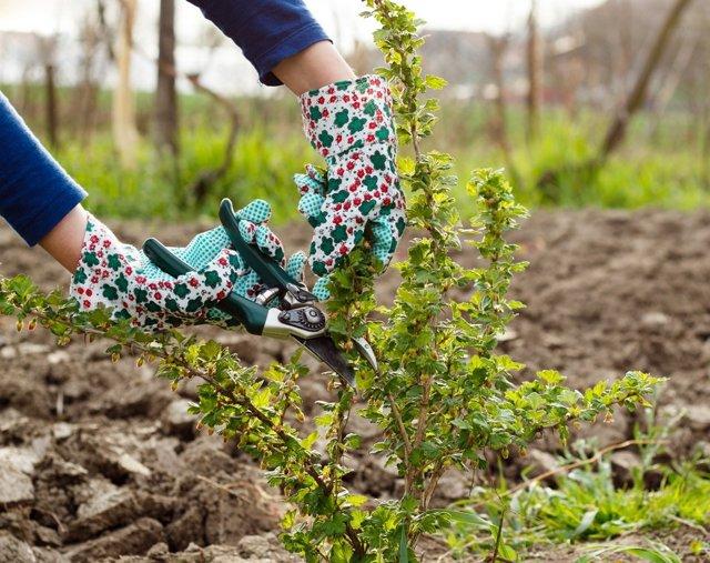 О крыжовнике Черный Негус: описание и характеристики сорта, уход и выращивание