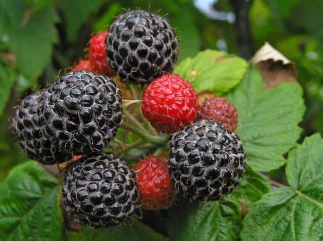 О черной малине: описание и характеристики сорта, особенности по уходу