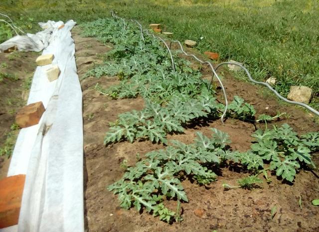 О выращивании арбузов в Сибири: оптимальное время посадки семян и рассады