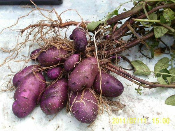 Василек: описание семенного сорта картофеля, характеристики, агротехника
