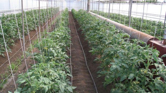 Виагра: описание сорта томата, характеристики помидоров, посев