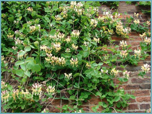 Жимолость Каприфоль: описание и характеристики сорта, уход и выращивание