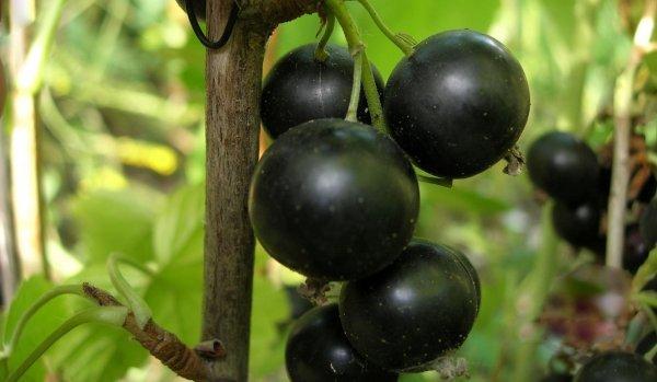 Смородина Добрыня: описание и характеристики сорта, уход и выращивание