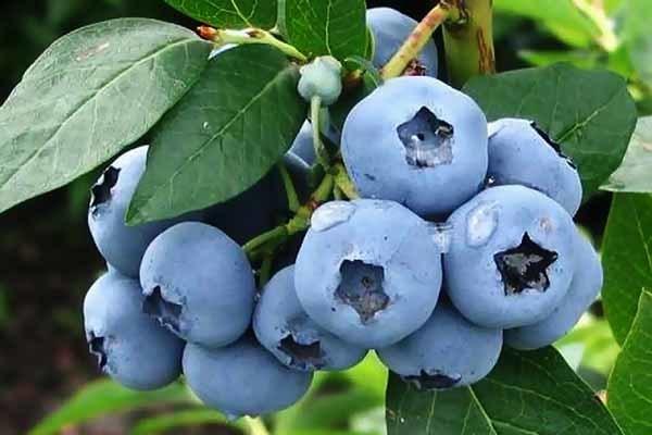 Голубика Денис Блю: описание и характеристики сорта, уход и выращивание