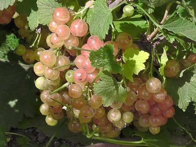 Смородина Голландская розовая: описание сорта, уход и выращивание