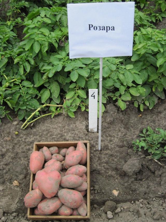 О картофеле Розара: описание семенного сорта картофеля, характеристики, агротехника