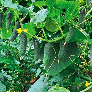 Все о сорте огурцов Гуннар: описание, агротехника выращивания и уход
