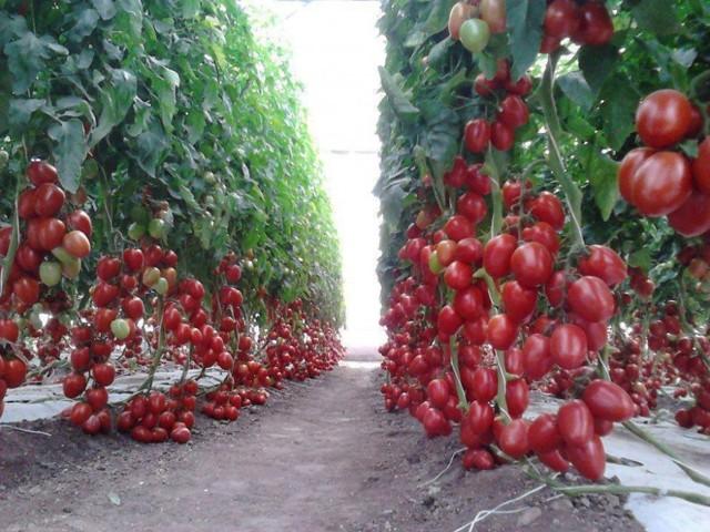 Подкормка томатов куриным пометом: как развести, как удобрять, как поливать