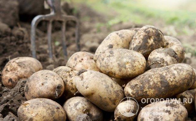 О картофеле Импала: описание семенного сорта картофеля, характеристики, агротехника