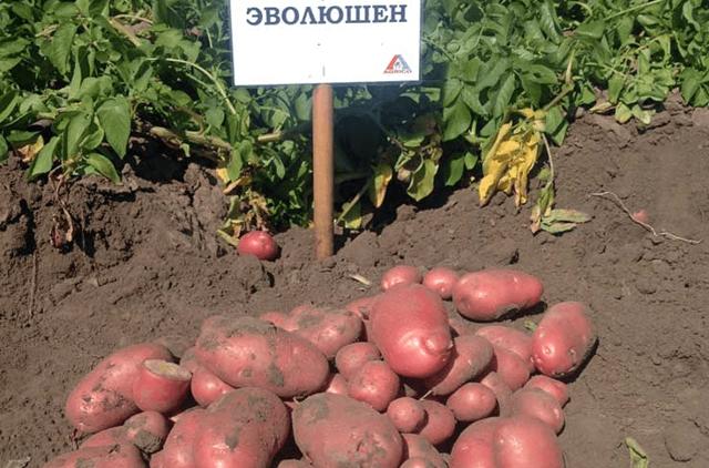 Эволюшн: описание семенного сорта картофеля, характеристики, агротехника