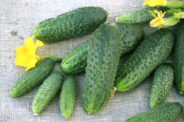 Об огурце Щедрик: описание сорта, характеристики, технология выращивания