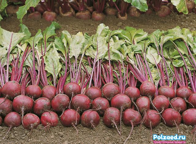 О выращивании свеклы: подготовка почвы, как вырастить, убрать, болезни