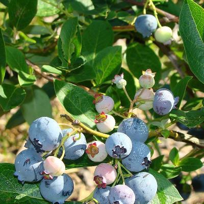 О садовой голубике Блюголд: описание и характеристики сорта, посадка и уход