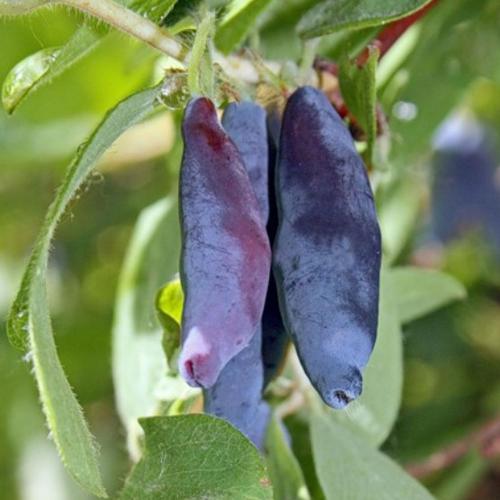 Жимолость съедобная Гордость Бакчара: описание и характеристики сорта