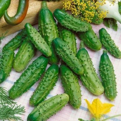 О сортах огурцов для открытого грунта: раннеспелых, самых вкусных, урожайных