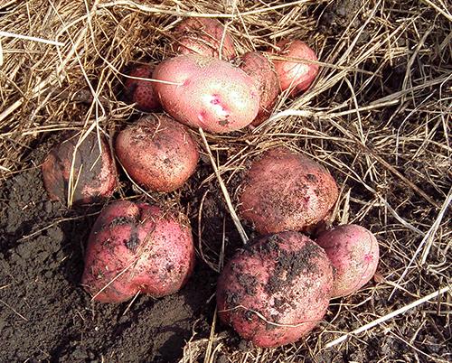 О картофеле Журавинка: описание сорта картофеля, характеристики, агротехника