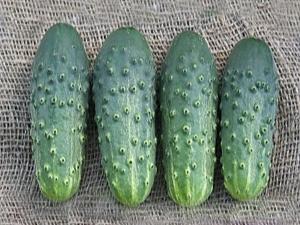О сорте огурца Погребок: описание, агротехника выращивания и уход