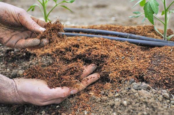 Все о выращивании фенхеля: агротехника, посадка и уход в открытом грунте