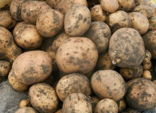 Ласунок: описание сорта картофеля, характеристики, агротехника