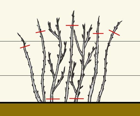 Малина желтая Беглянка: описание сорта, особенности по посадке и уходу