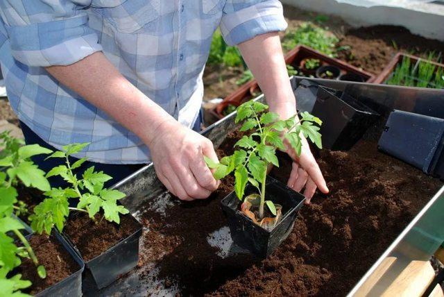 Рассада помидоров вытянулась что делать, как исправить тонкие стебли, чем полить