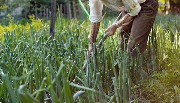Все о луке Ред Барон: характеристики, посадка и особенности выращивания