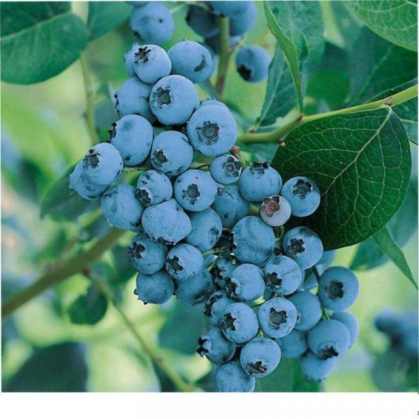 Голубика Элизабет: описание и характеристики сорта, посадка и уход