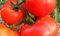 О томате Пасхальное яйцо: описание сорта, характеристики помидоров, посев