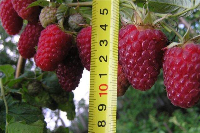 О крупноплодной малине Терентий: описание сорта, особенности по уходу