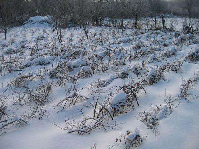 О малине Глен Ампл (Ample Glen): описание сорта, особенности по уходу