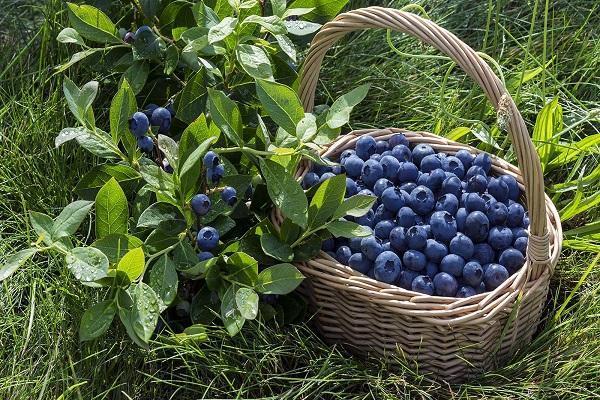О голубике Торо: описание и характеристики сорта, уход и выращивание