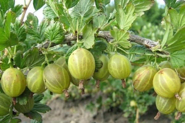 О крыжовнике Родник: описание и характеристики сорта, уход и выращивание