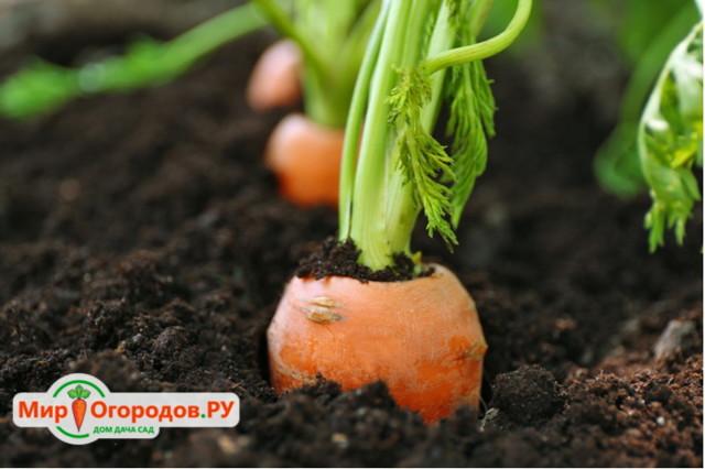 Ручная сажалка для моркови, как сделать своими руками морковную сеялку