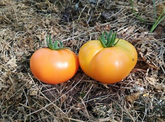 О томате Медовый Гигант: правила посадки, ухода, выращивания, размножения