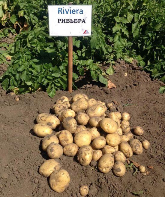Изюминка: описание сорта картофеля, характеристики, агротехника