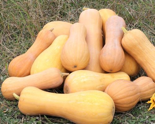 Все о выращивании тыквы зимней сладкой: сорта, описание и выращивание
