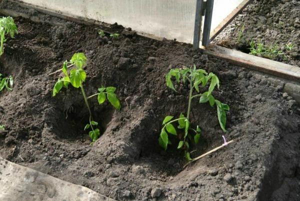 Посадка помидоров лежа, как правильно сажать томаты лежа в теплице