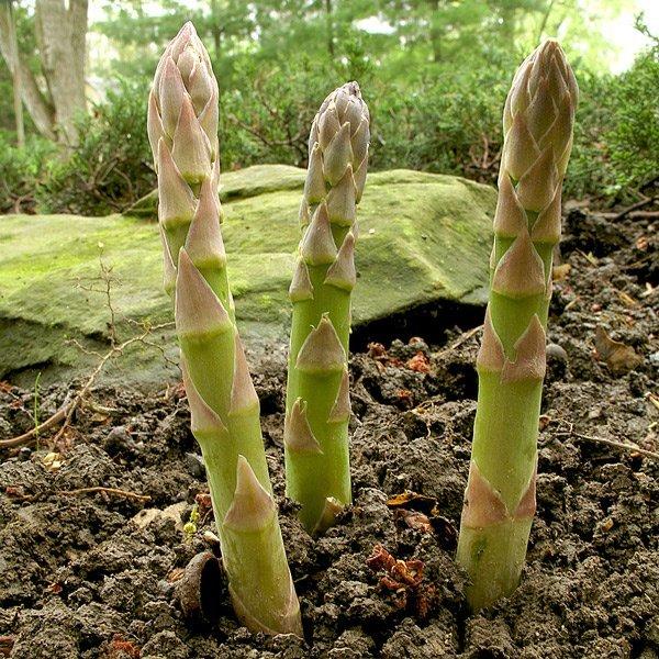Все о посадке и выращивании спаржи аржентельской: методы посева и ухода
