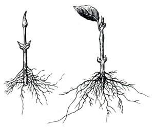 О жимолости съедобной: где высаживать, как ухаживать, размножать