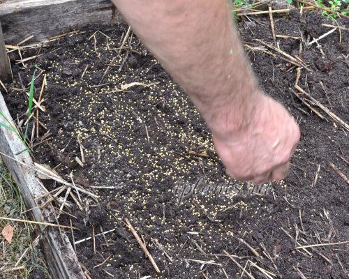 Все об использовании горчицы, как сидерат: когда посеять и перекапывать