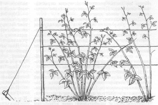 Малина Метеор: описание и характеристики сорта, особенности по уходу