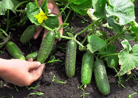 Об огурце Отелло: описание сорта, характеристики, технология выращивания