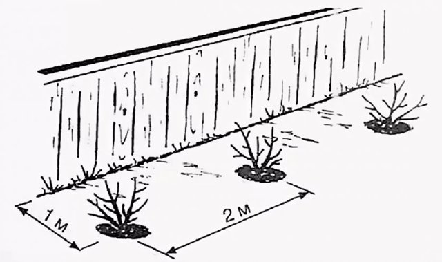 Жимолость съедобная Волхова: описание и характеристики сорта
