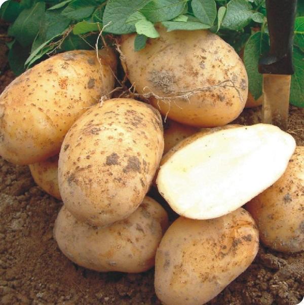 Колетте: описание семенного сорта картофеля, характеристики, агротехника