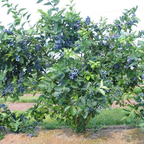 Голубика высокорослая Блюджей: описание сорта, уход и выращивание