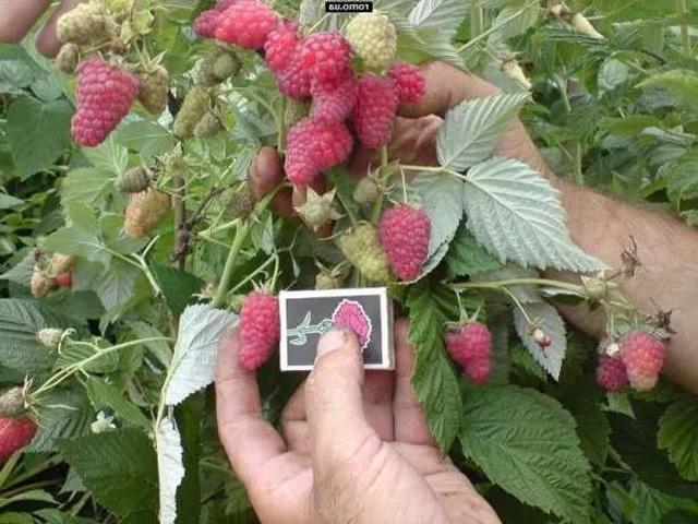 О малине Крепыш: описание и характеристики сорта, особенности по уходу
