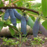 Жимолость Золушка: описание и характеристики сорта, посадка и уход