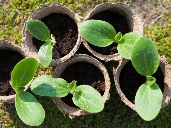 Все о бутылочной тыкве: описание, как выглядит, выращивание и уход