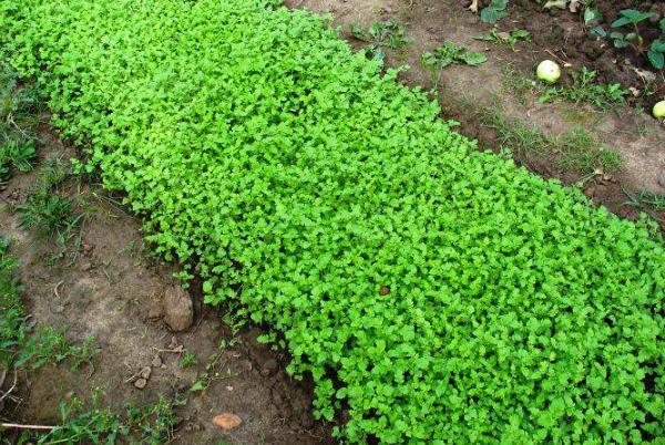 Пикассо: описание семенного сорта картофеля, характеристики, агротехника